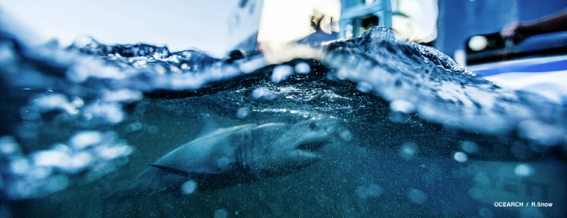 SonoSite portable ultrasound helps researchers understand sharks.